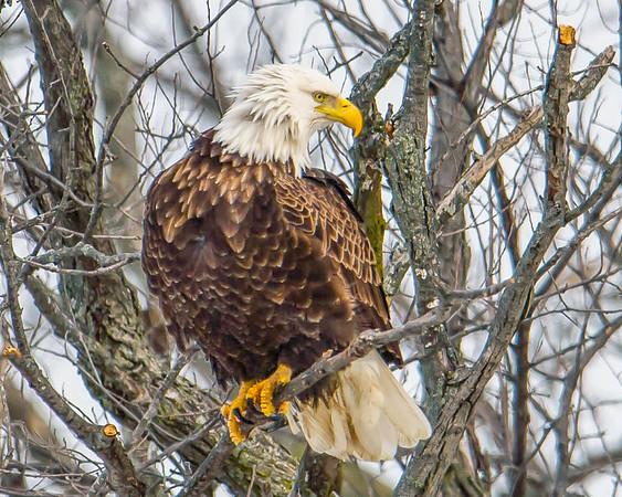 Bald Eagles of LeClaire,