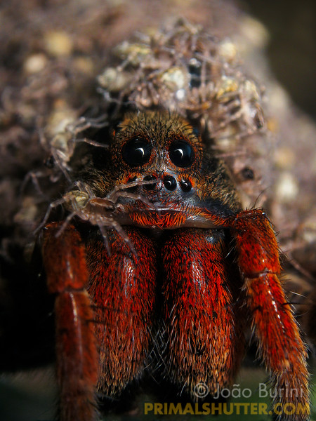 Vertical portrait of a wolf spider with spiderlings