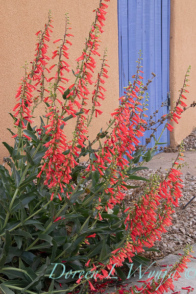 Penstemon eatonii Firecracker stucco periwinkle courtyard gate _5703.jpg