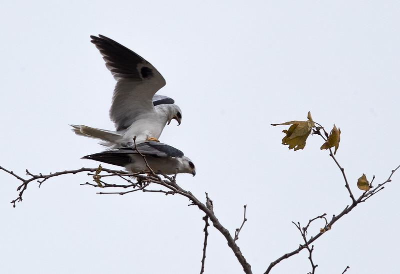 White Kite-1.jpg