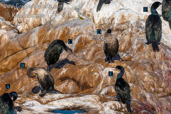 Cormorant ID Challenge