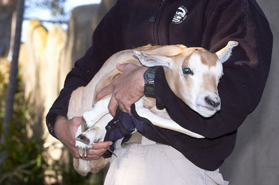 Baby Scimitar Oryx 4/19/2007