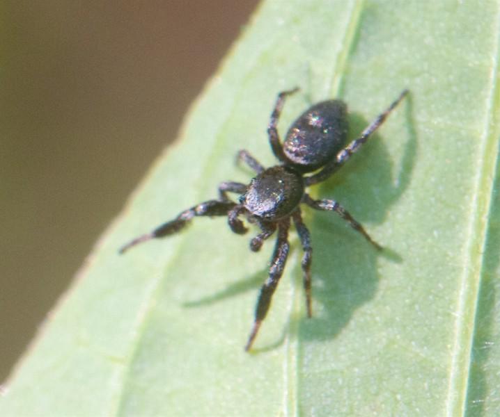 Tutelina harti Jumping Spider jumper Skogstjarna Carlton Co MN IMG_9860.jpg