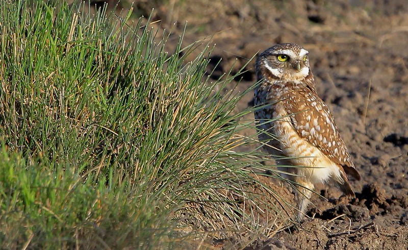 zzAnahuac,2-16-16 030A Burrowing Owl away from nest.jpg