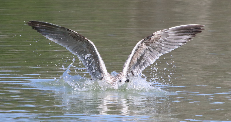 seagull splashing in water.jpg