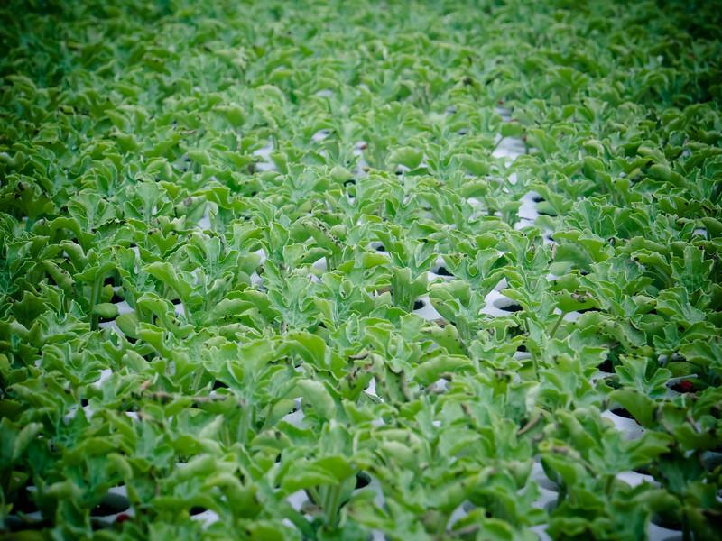 brindisi seedlings.jpg