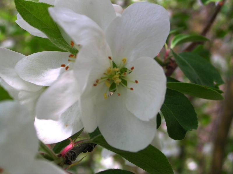 white bloom52.JPG