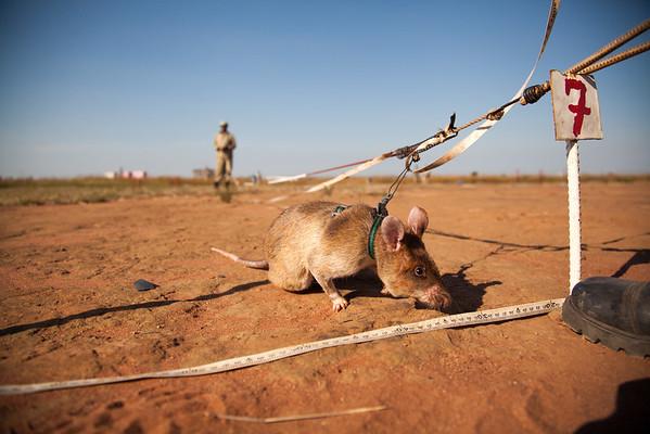 Africa's notorious pest turned furry saviour