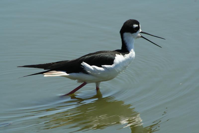 Black-necked Stilt (5).JPG