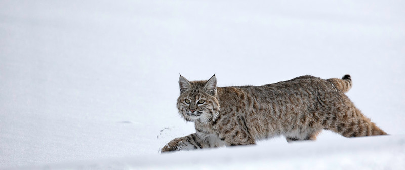 Bobcat - young one on white background.jpg