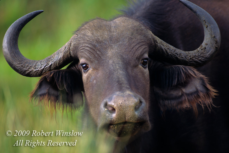 African or Cape Buffalo
