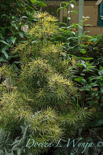 Sciadopitys verticillata 'Aurea' garden textures_4849.jpg