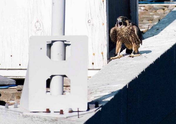 Falcons at Oracle