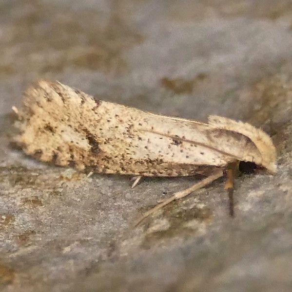H00366  P172AcrolophusMortipennella700 Apr. 12, 2018  7:15 a.m.  P1720700 This is an Acrolophus mortipennella,  a Tubeworm Moth, at LBJ WC.  Tineid.