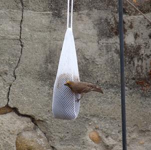 Backyard Birds, 2009