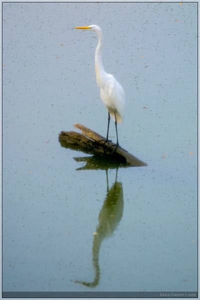 This stump sticking out of the water is a very popular fishing spot for the herons and egrets that live around the lake behind my apartment.  Usually, the herons dominate the scene, so I was thrilled when this egret was there one morning.