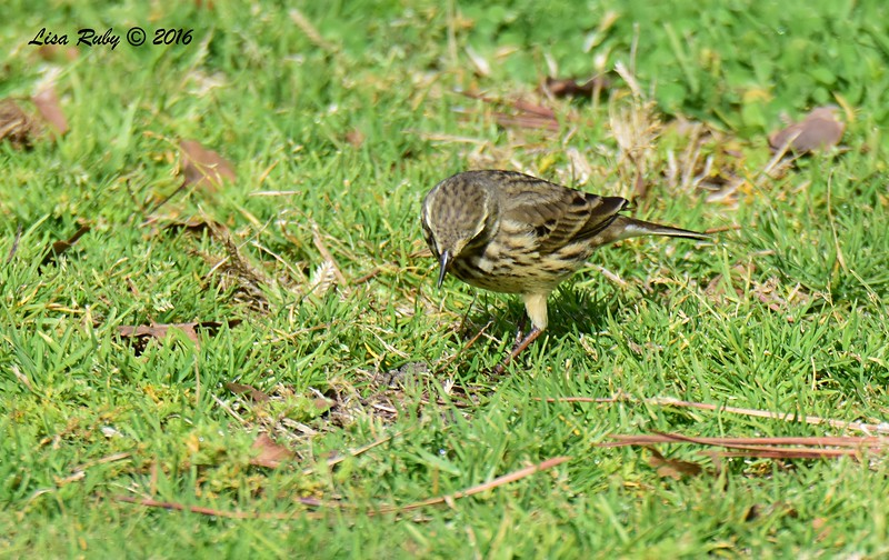 American Pipit  - 12/11/2016 - Crown Point