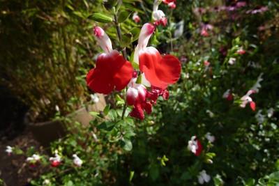 Salvia 'Hotlips'.jpg