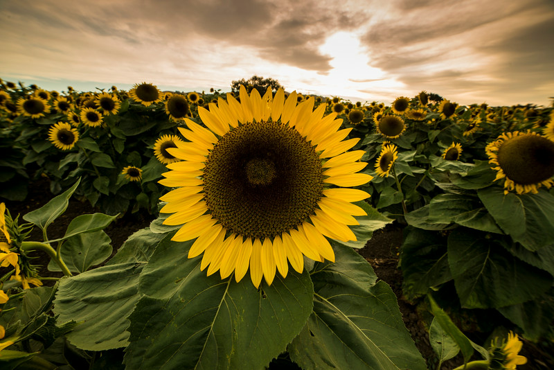 Sunflowers (2014-08-03)