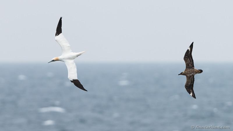 Sule (Morus bassanus - Northern gannet) og storkjove (Stercorarius skua - Great skua)