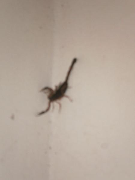 Scorpian.JPG