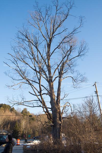 Romaine Tenney Maple Tree