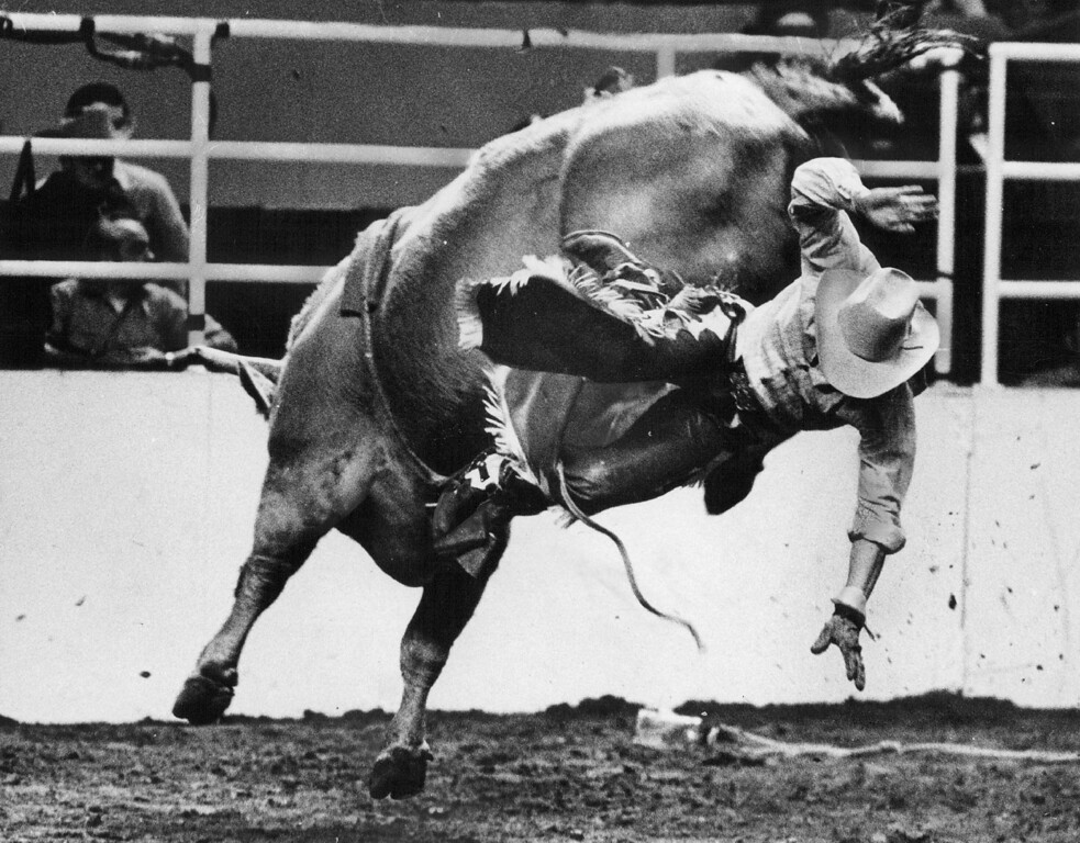 . Bob Steiner of Austin, Tex., heads for the floor of the Denver Coliseum after riding a Brahma bull. Seven of 10 who tried to ride bulls Sunday night failed to score National Western Stock Show rodeo. Ernie Leyba, The Denver Post
