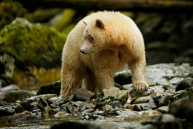 20150930-_G7Q8599Spirit-Bears-British-Columbia.jpg