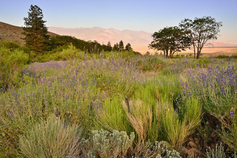 Long Stem Lupine Eastern Sierra, CA. Spring 2014