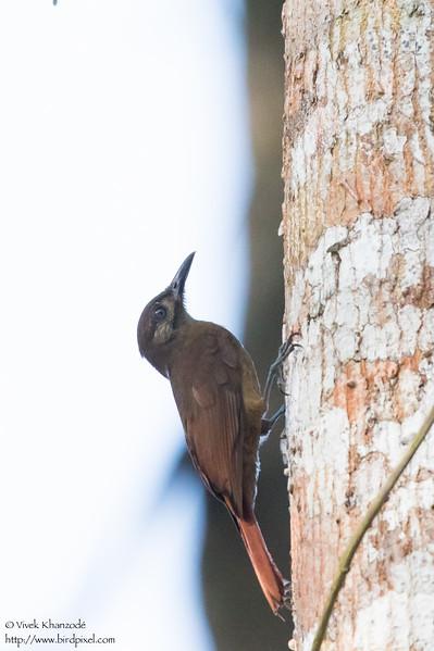 Plain-brown Woodcreeper - Gamboa, Colon, Panama