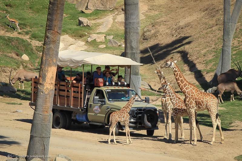 giraffes-1.jpg
