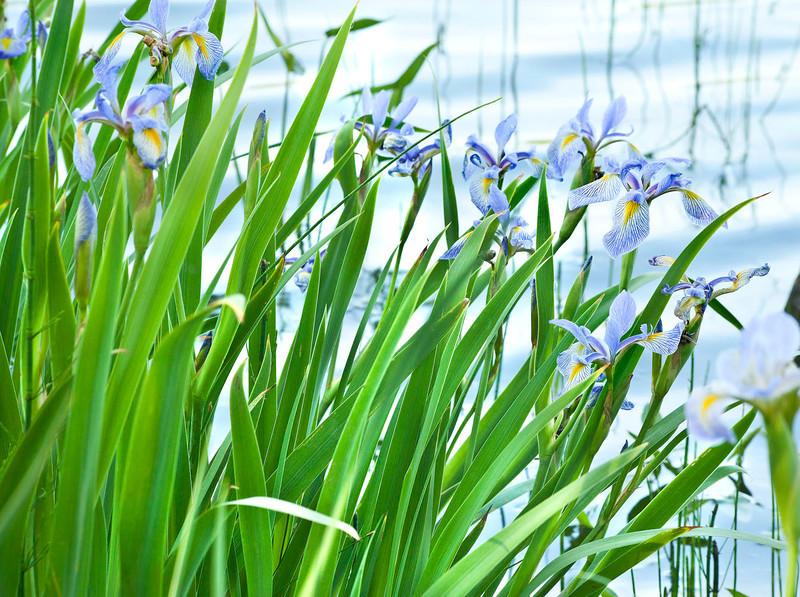 Blue Irises at the Lake