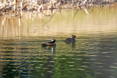 Hooded and Common Mergansers, Red-winged Blackbird