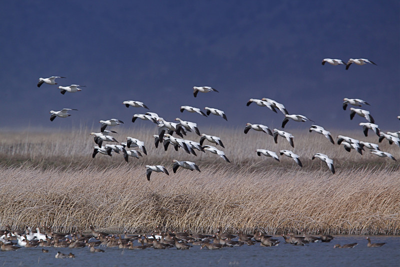 Ross' Geese landing among Greater White-fronted Geese