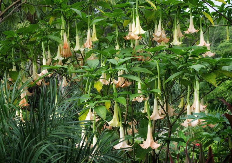 Trumpet flowers in bloom