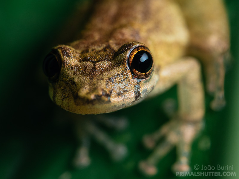Frontal portrait of a treefrog