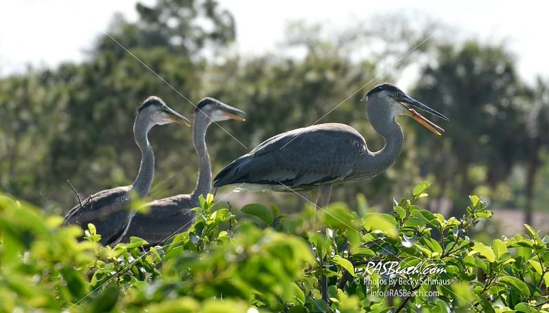 Great Blue Heron in the Wakodahatchee Wetlands