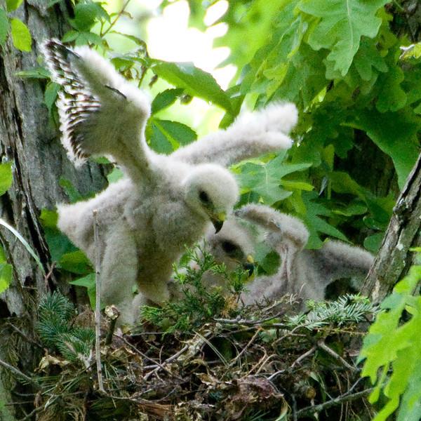 """2010 Red Shouldered Hawk Nest - """"Flight Practice"""""""