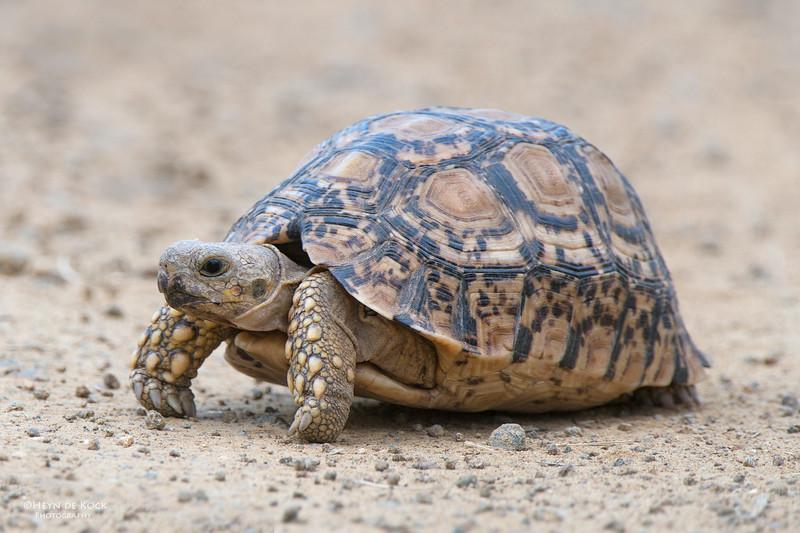 Leopard Tortoise, Willem Pretorius NR, FS, SA, Dec 2014.jpg