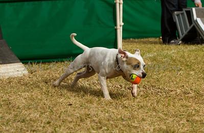Flyball (Irvine Jan. 2012)