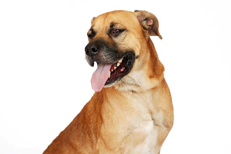 Bryan - A267500 - 6 year old male, German Shepherd / Boxer mix