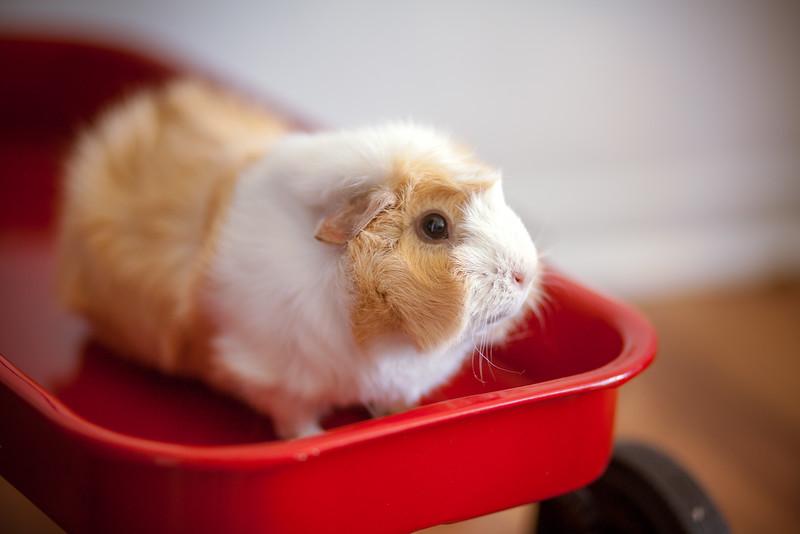Ginea Pigs-16.jpg