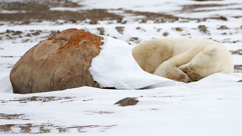 polar bear  5947.jpg