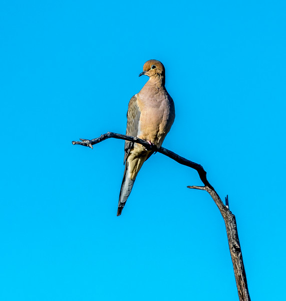 EH - Mourning Dove on Branch #1