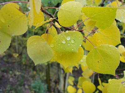aspen leaves changing fall