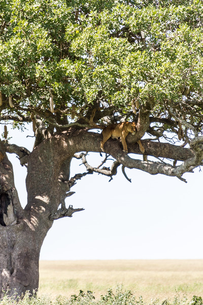 Lion relaxing on tree - East Africa - Tanzania