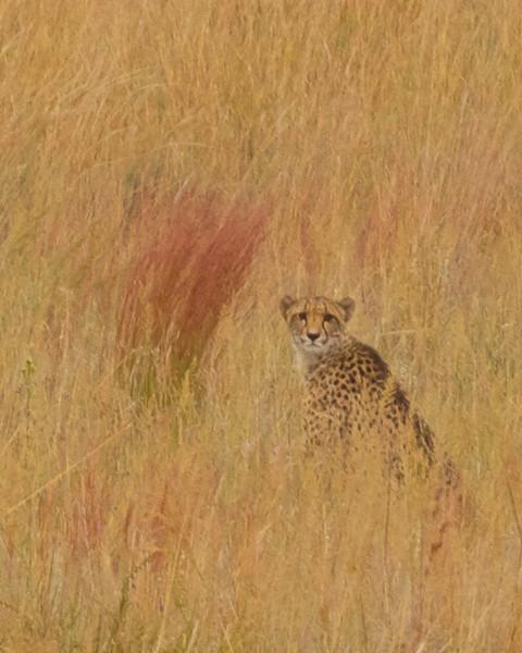 Cheetah Mom.jpg