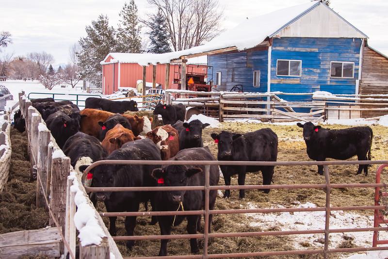 cows-28.jpg