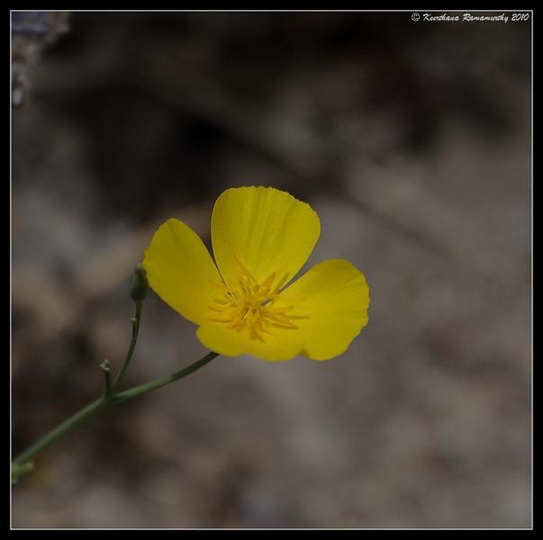 Rock Rose, Palm Canyon Trail, Anza Borrego Desert State Park, San Diego County, California, April 2010