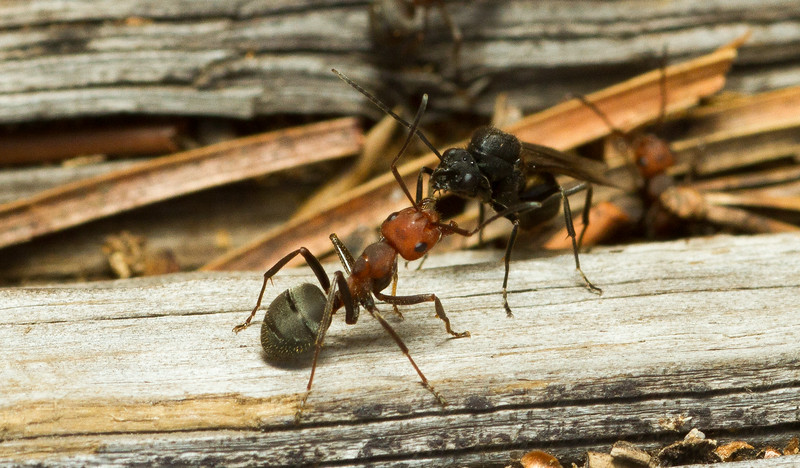 A carpenter ant worker (Camponotus sp.) interacts with a freshly-eclosed winged male during a large emergence of reproductive individuals known as a nuptial flight in Grand Teton National Park in Wyoming.